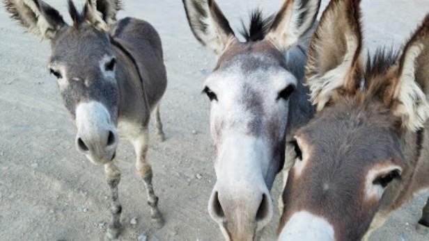 3 wild burros