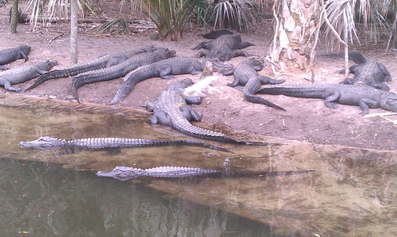 a flock of alligators