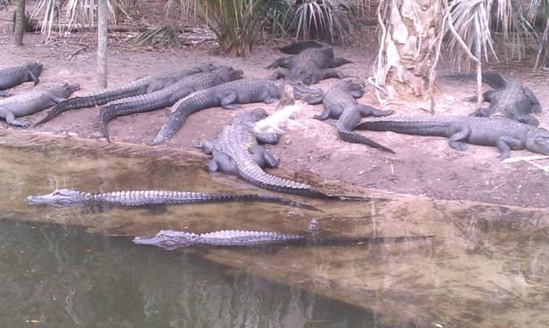 a flock of alligators