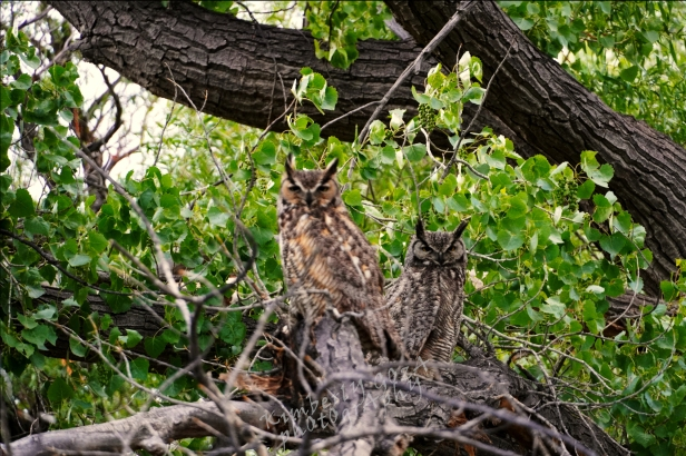Two owls sitting in tree
