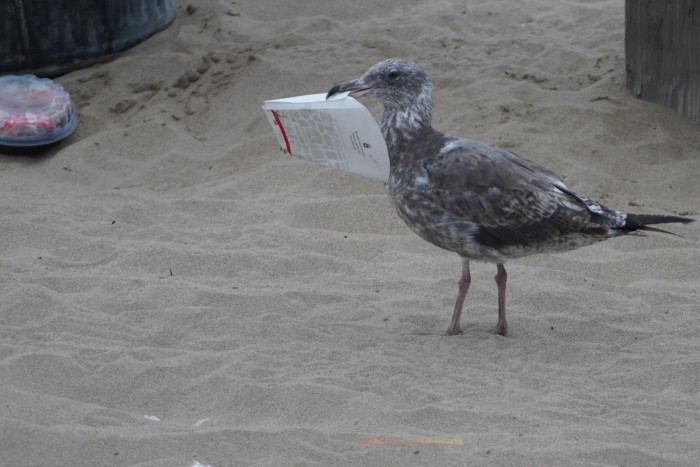 Seagull taking out the trash